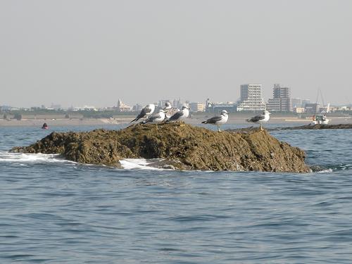 小鯖島のウミネコ