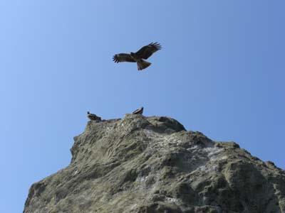 烏帽子岩上のトビ