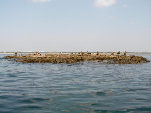 長者蔵島上のトビ2