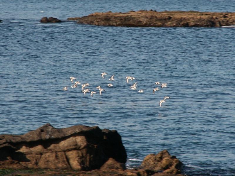 飛行するミユビシギの群れ