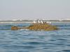 小鯖島のウミネコ2