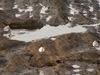 採餌するミユビシギ